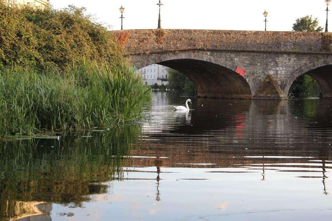 Swan under Graiguecullen bridge
