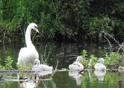 Swan family on weir