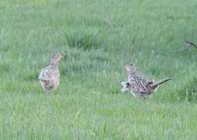 Two female Pheasants in a green field