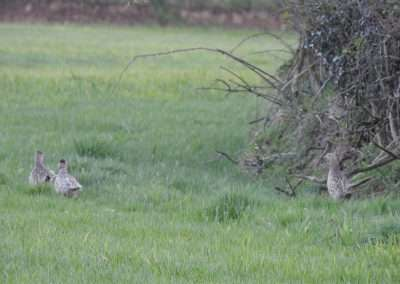 three female pheasants at hedge of field in Vicarstown, Laois