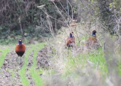three male Pheasants at a hedge in newly sown field