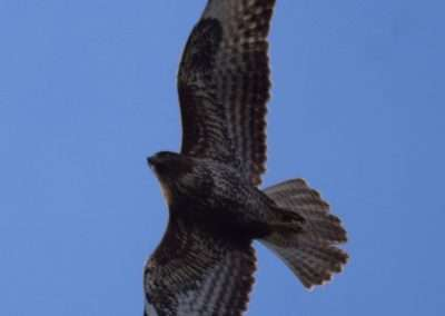 View of Buzzard from underneath. Blue sky background.