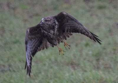 Buzzard taking off from fence post.