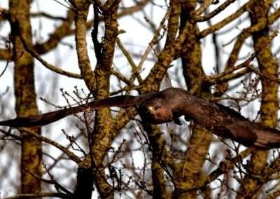 Buzzard in flight. Trees in background