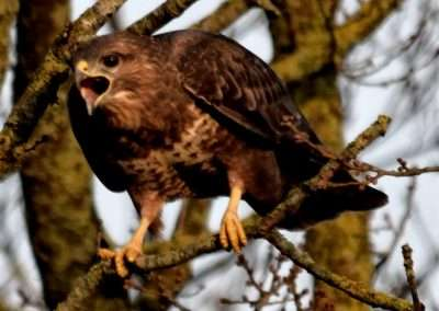 Buzzard in tree with moth open. Appears to be screaming