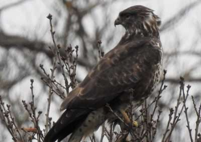 Buzzard on top of a tree on small branches