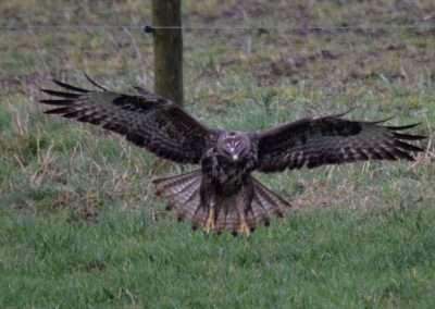 Buzzard landing on ground with wings spread