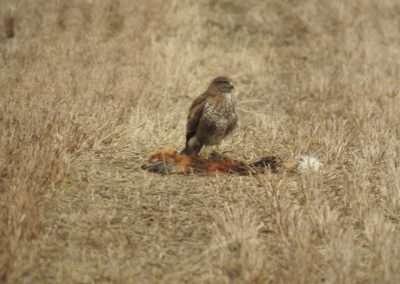 Buzzard standing on a dead fox
