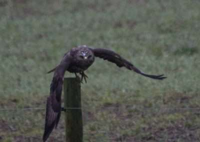 Buzzard taking to flight from a wooden post.