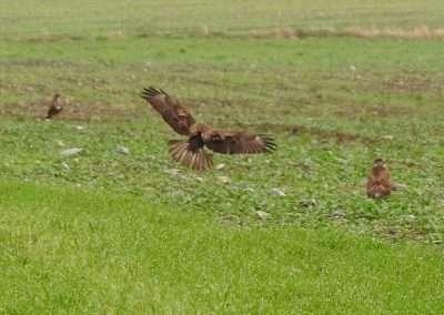 Two Buzzards landing in a green field