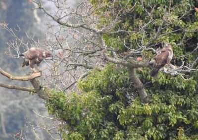 Two Buzzards in a Tree, in county Kilkenny Ireland
