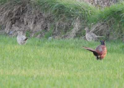 Male and two female pheasants at edge of field in county Laois