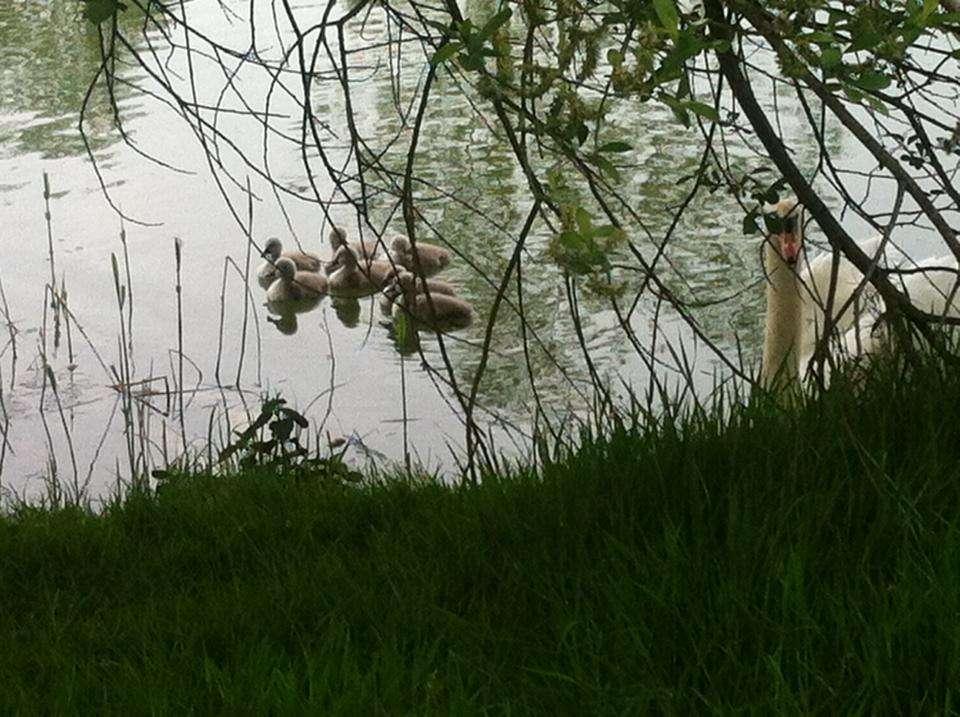 Six Cygnets and a Female Swan on a Mayo Lake