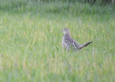 Hen Pheasant in long grass at Vicarstown, laois