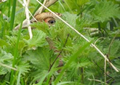 Female pheasant hiding behind nettle. Only her eye showing