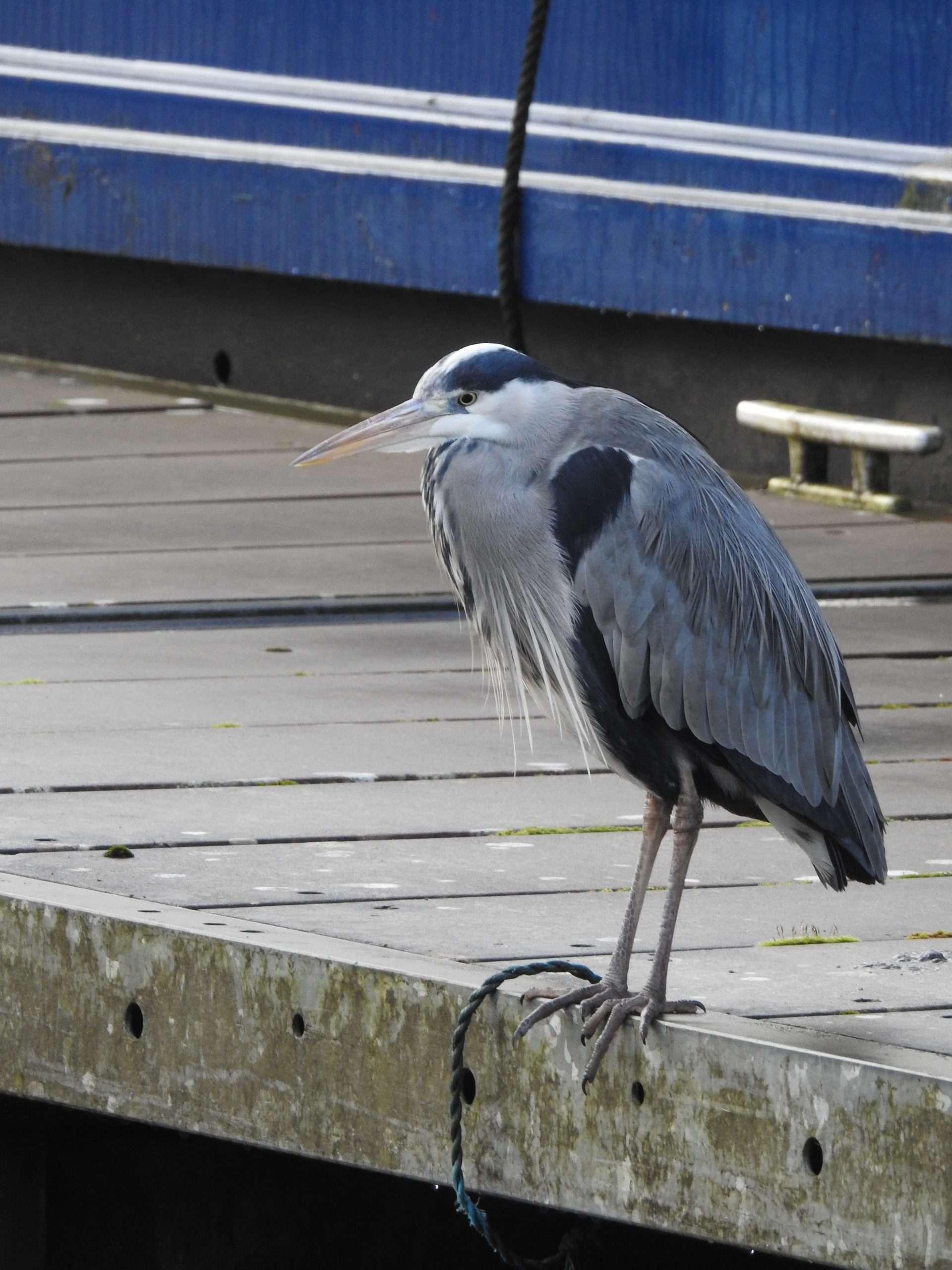 A Heron standing on pontoon