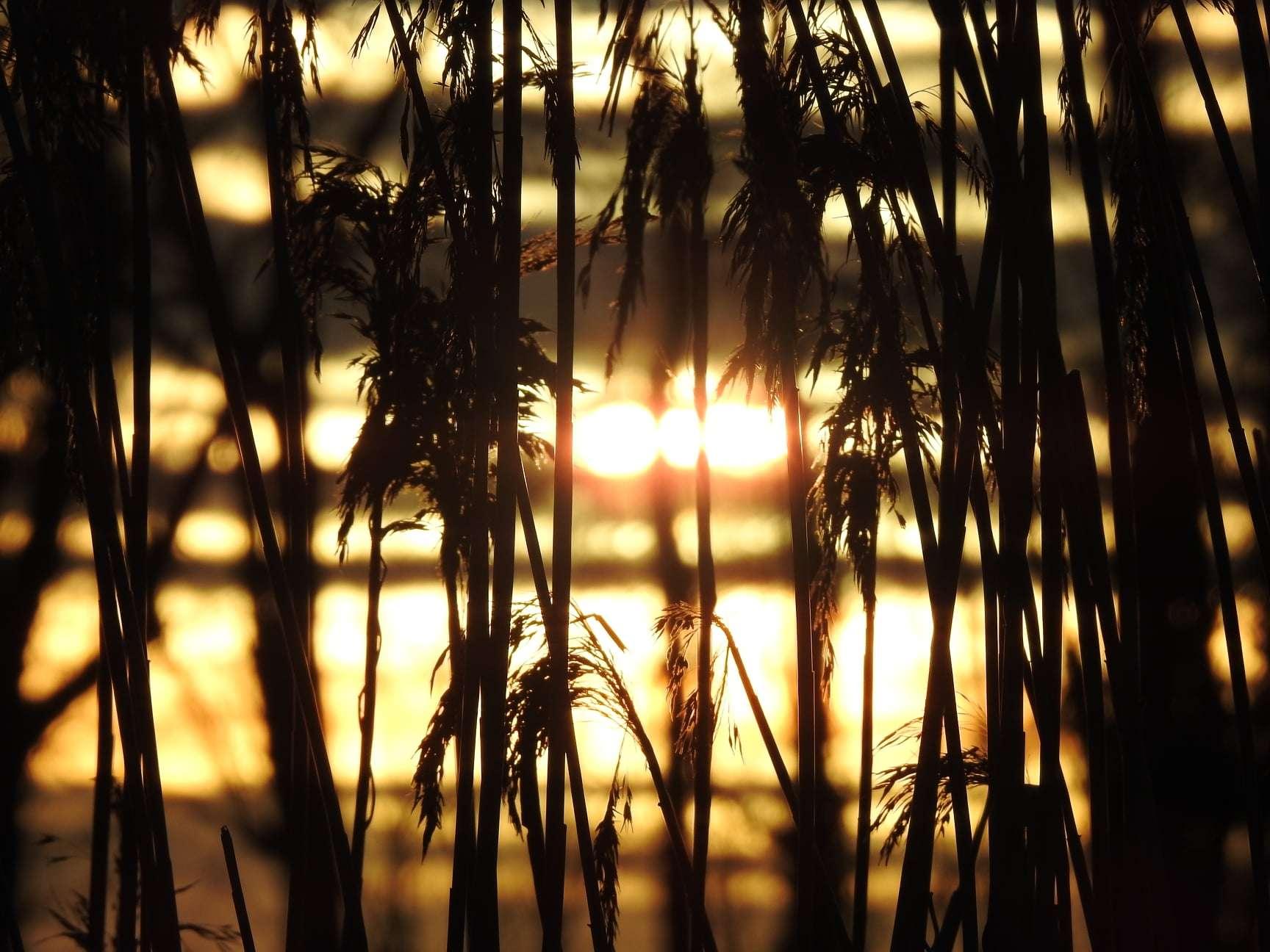 Sunset behind bullrushes at lake