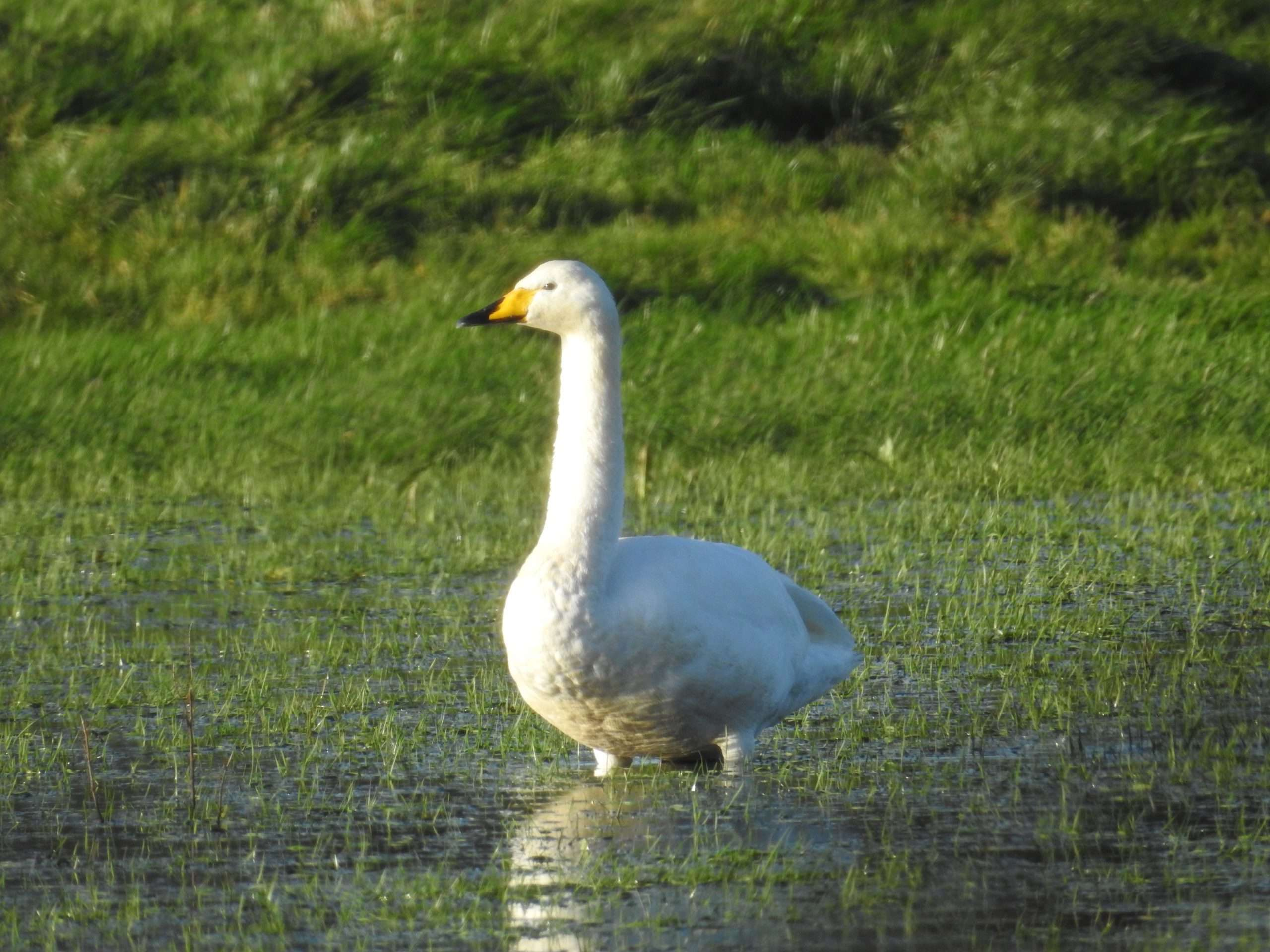 Whooper Swan on flooded river meadow