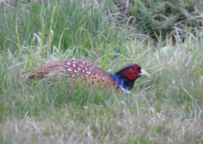 Cock pheasant hiding in scrub grass in county Laois, Ireland