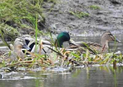 Drake and Two Hen Mallard on river Barrow