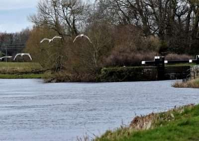 Swans flying upstream at Ardreigh lock outside Athy, Kildare, Ireland.